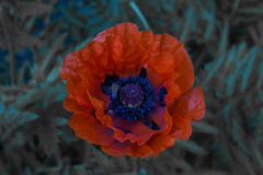 Poppy flower at night. Close-up of a poppy flower in bloom, in a fading light Stock Photo