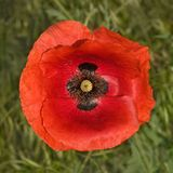 Poppy flower Stock Image