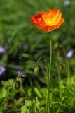 Golden poppy flower in garden. A golden blooming poppy flower in a garden with two poppy buds aside. Wallpaper for mobile phone royalty free stock image