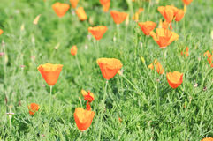 Poppy flower. Orange poppy flower in thailand Royalty Free Stock Photos