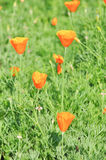 Poppy flower. Orange poppy flower in thailand Royalty Free Stock Image