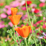 Poppy flower. Orange poppy flower in thailand Stock Photos