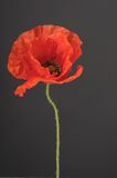 Poppy flower Stock Image