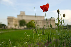 Poppy flower at Palace of Parliament. Shot taken in Izvor Park, Bucharest, Romania, Europe, 2012 stock image