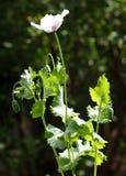 Poppy flower. Pale pink poppy flower in the garden stock image