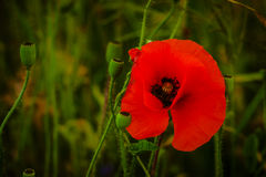 Poppy flower. Photo of the red poppy flower Stock Photos