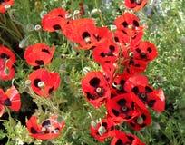 Poppy Flower Plants immagine stock libera da diritti