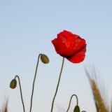 Poppy flower portrait Stock Photography