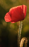 Poppy flower portrait in Summer Stock Photos