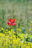 Poppy flower in rape field Royalty Free Stock Photography