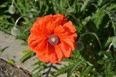 Poppy flower Royalty Free Stock Photo