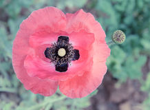 Poppy flower Royalty Free Stock Photography