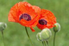 Poppy flower. Red Poppy flower close up stock images