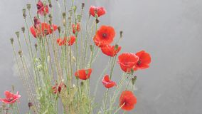 Poppy flower red dew winter water drops foggy weather stock image