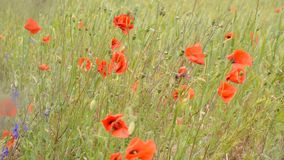 Poppy flower stock footage