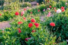 Poppy flower red pink white sunlight shining Royalty Free Stock Images