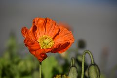 Poppy, Flower, Red, Spring, Blossom Royalty Free Stock Image