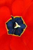 Poppy flower. The red flower of the poppy which has been taken a close-up royalty free stock image