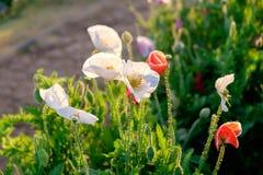 Poppy flower red white sunlight shining Stock Image