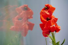 Poppy flower reflection. Red poppy flowers reflection from window, happy sunny day, f1.7, 1/640s, ISO-50, 85mm stock photos