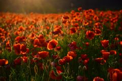 Poppy flower Remembrance Day. Red flower field, narcotics stock image
