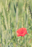 Poppy flower retro peaceful green background Royalty Free Stock Image
