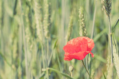 Poppy flower retro peaceful green background Stock Photography