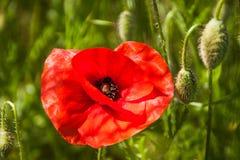 Poppy Flower roja en campos verdes en verano imagenes de archivo