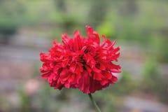 Poppy Flower rouge dans le jardin images libres de droits