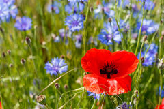 Poppy flower in a sea of  green and purple Stock Photography
