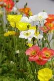 The poppy flower. In the spring stock image