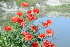 Poppy flower spring scene Royalty Free Stock Photography
