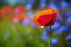 Solitary existence of a Poppy flower. Poppy flower in spring time stock photos