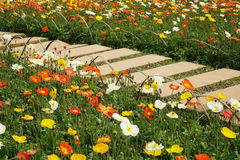 Poppy flower with stone path Stock Images