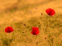 Poppy Flower. Summer Poppy Flower in a Wheat Field Royalty Free Stock Images