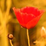 Poppy Flower. Summer Poppy Flower in a Wheat Field Royalty Free Stock Image