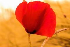 Poppy Flower. Summer Poppy Flower in a Wheat Field Stock Photos
