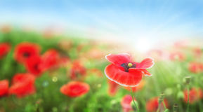 Poppy flower and sun Royalty Free Stock Image