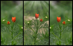 Poppy flower in three variations. Nature theme stock images