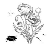 Poppy flower vector drawing set. Isolated wild plant and leaves. Stock Photos