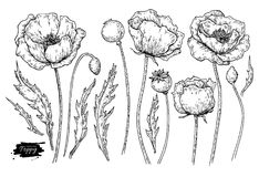 Poppy flower vector drawing set. Isolated wild plant and leaves.   Royalty Free Stock Photo
