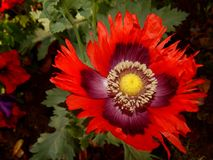 Poppy Flower vermelha e roxa Imagem de Stock Royalty Free