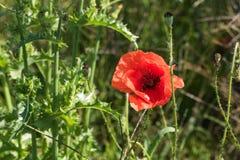 Poppy flower stock images