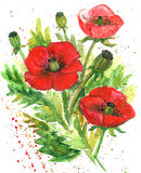 Poppy Flower Watercolor Illustration rossa Fotografia Stock