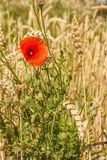 Poppy flower among wheat ears. Flower poppy growing among wheat ears on the field Stock Images