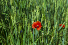 Poppy flower in a wheat field Royalty Free Stock Images