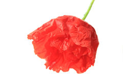 Poppy flower. On white background, slightly open Royalty Free Stock Photography