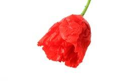 Poppy flower. On white background, slightly open Royalty Free Stock Image