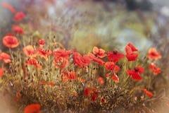 Poppy flower - wild poppy flower Stock Photos
