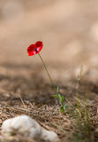Poppy flower in the wild Royalty Free Stock Photography